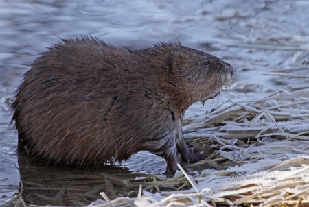 muskrat: A muskrat (Ondatra zibethicus) sitting on the shore of the Grand River, in Ontario, Canada. Stock Photo