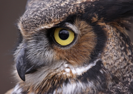 An extreme close-up of the face of a Great Horned Owl (Bubo virginianus)