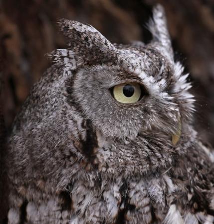 megascops: A side profile shot of an Eastern Screech Owl (Megascops asio).
