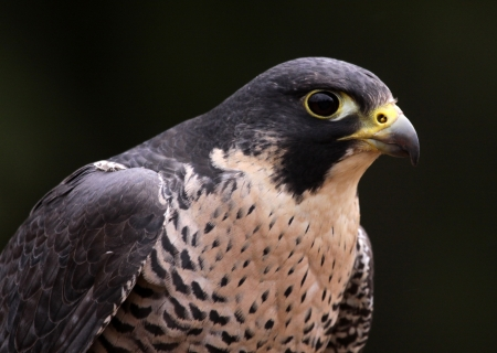 falco peregrinus: A close-up of the face of a Peregrine Falcon (Falco peregrinus).  These birds are the fastest animals in the world.
