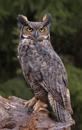 A Great Horned Owl (Bubo virginianus) sitting on a tree stump.