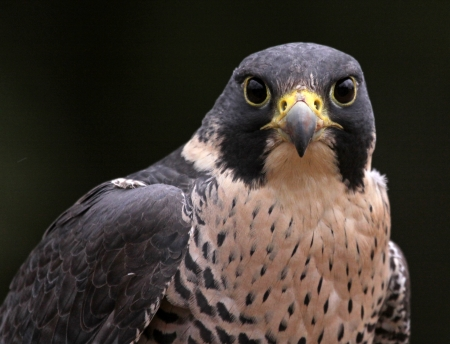falco peregrinus: A close-up of the face of a Peregrine Falcon (Falco peregrinus) staring at the camera.  These birds are the fastest animals in the world. Stock Photo
