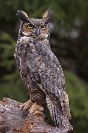 upclose: A Great Horned Owl (Bubo virginianus) sitting on a tree stump.