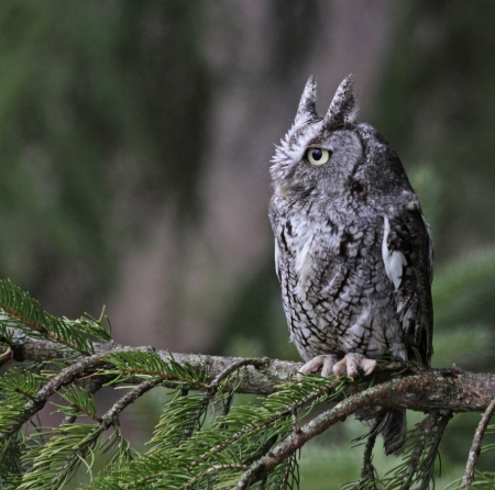 megascops: An Eastern Screech Owl (Megascops asio) sitting on branch.