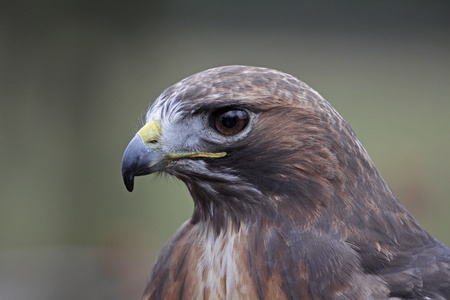 tailed: A portrait of the face of the Red-tailed hawk (Buteo jamaicensis).
