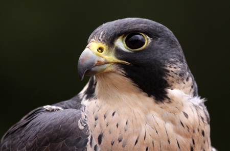falco: An extreme close-up of the face of a Peregrine Falcon (Falco peregrinus).  These birds are the fastest animals in the world.  Stock Photo