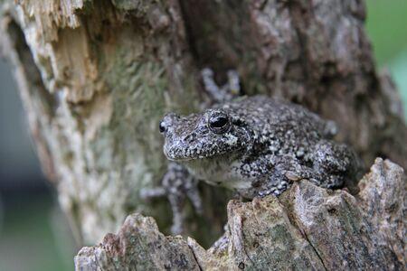 arboreal frog: Una rana arb�rea gris (Hyla versicolor) sentado en un toc�n. Filmada en Kitchener, Ontario, Canad�.