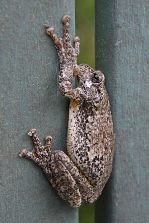 versicolor: A Gray Tree Frog (Hyla versicolor) sitting on lawn furniture.  Shot in Kitchener, Ontario, Canada.  Stock Photo