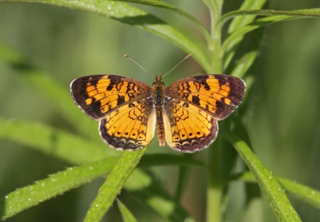 crescent: A Northern Crescent butterfly (Phyciodes cocyta) sitting on a weed.  Shot in Cambridge, Ontario Canada. Stock Photo