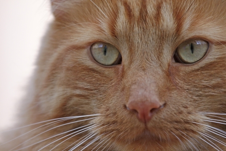 upclose: The eyes of an orange tabby cat.