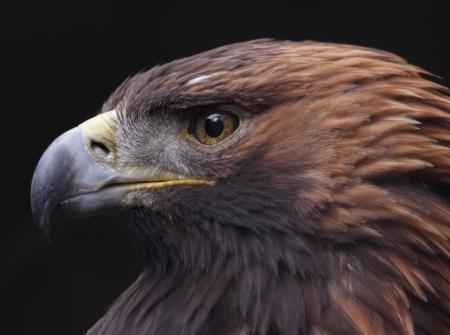chrysaetos: The face of a Golden Eagle (Aquila chrysaetos).