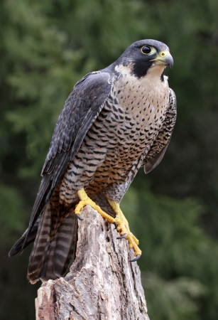 falco peregrinus: A Peregrine Falcon (Falco peregrinus) perched on a stump.  These birds are the fastest animals in the world.