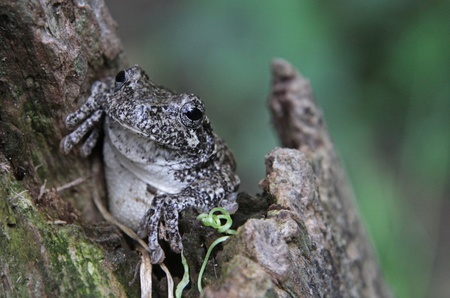 arboreal frog: A Gray Tree Frog (Hyla versicolor) sitting in a stump.  Shot in Kitchener, Ontario, Canada.