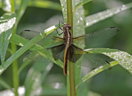 libellula: A Female Widow Skimmer (Libellula luctuosa) sitting on some wet weeds.  Shot in Cambridge, Ontario, Canada.