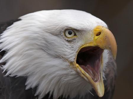 beak: A Bald Eagle (Haliaeetus leucocephalus) squawking.  The bird is the national bird of the United States of America.  Stock Photo