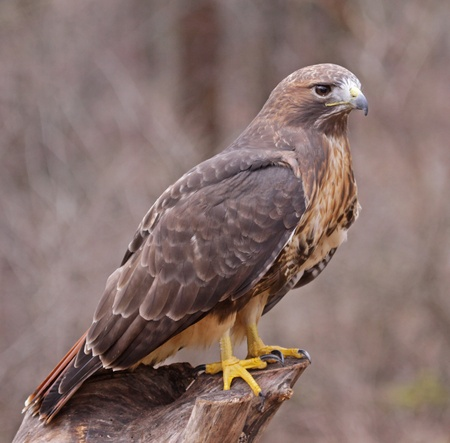 tailed: A Red-tailed hawk (Buteo jamaicensis) sitting on a stump. Stock Photo