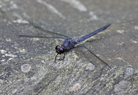 A Slaty Skimmer Dragonfly (Libellula incesta) perched on a rock.  Shot in Muskoka, Ontario, Canada.