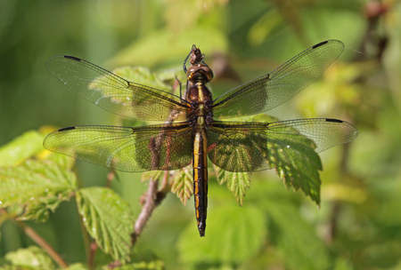libellula: A female Widow Skimmer (Libellula luctuosa) sitting on some wet weeds.  Shot in Cambridge, Ontario, Canada.  Stock Photo