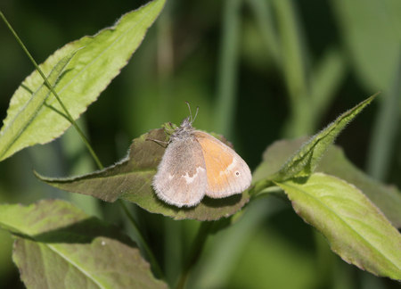 ringlet: A Common Ringlet (Coenonympha tullia) butterfly sitting on a leaf.  Shot in Cambridge, Ontario. Stock Photo