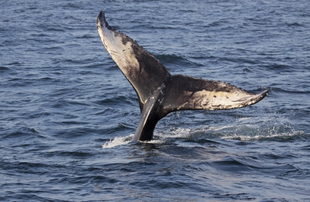 baleen whale: The tail of a Humpback Whale (Megaptera novaeangliae).  Shot off the coast of Maine, USA. Stock Photo