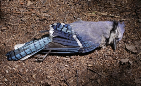 blue jay bird: The body of a dead blue jay (Cyanocitta cristata) sitting on the ground.  Shot in Kitchener, Ontario, Canada.  Stock Photo
