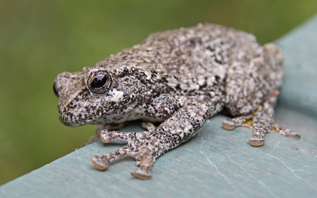 camoflauge: A Gray Tree Frog (Hyla versicolor) sitting on lawn furniture.  Shot in Kitchener, Ontario, Canada.  Stock Photo