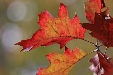 back lit: Back lit crimson autumn oak tree leaves.  Stock Photo