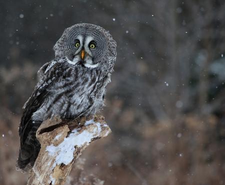 snow falling: Un spaventato Great Grey Owl (Strix nebulosa), arroccato su un ceppo di neve caduta in background.