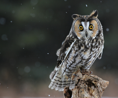 A Long-eared Owl (Asio otus) sitting on a perch with snow falling in the background.