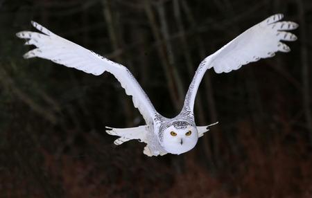 右のカメラで飛んで雪をかぶったフクロウ (横痃 scandiacus)。 写真素材