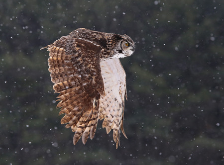 virginianus: A Great Horned Owl (Bubo virginianus) gliding through the air with snow falling in the background.
