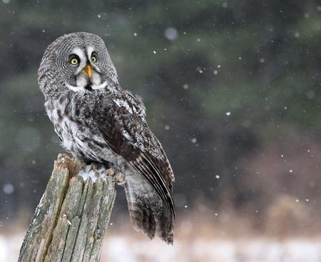 snow falling: A Great Grey Owl (Strix nebulosa) guardando in alto, mentre arroccato su un ceppo di neve caduta in background. Archivio Fotografico