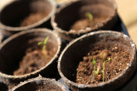 Jalapeno pepper seedlings growing in individualized pots. Stock Photo