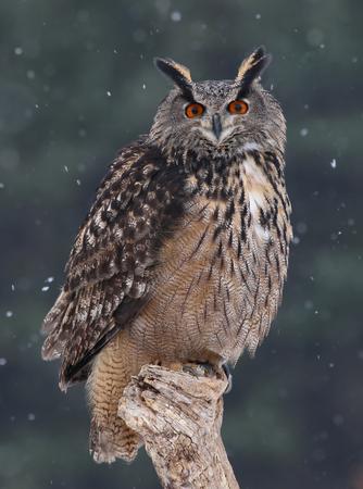 snow falling: Un Eurasian gufo reale (Bubo bubo), seduto una pertica con la neve caduta in background. Archivio Fotografico