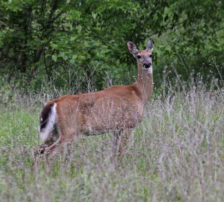 virginianus: A white-tailed deer (Odocoileus virginianus) on alert.  Shot in Kitchener, Ontario, Canada.