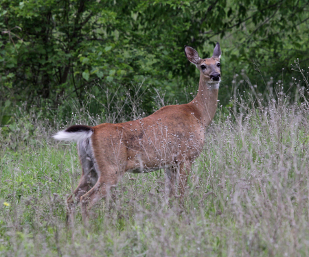 A white-tailed deer (Odocoileus virginianus) on alert.  Shot in Kitchener, Ontario, Canada.
