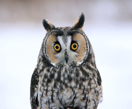 A Long-eared Owl (Asio otus) sitting on a perch with a snowy background.  photo