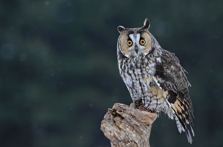 eared: A Long-eared Owl (Asio otus) sitting on a perch with snow falling in the background.