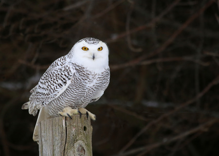 the perch: A Snowy Owl (Bubo scandiacus) sitting on a post.  Stock Photo