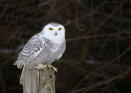 A Snowy Owl (Bubo scandiacus) sitting on a post. Foto de archivo