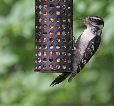 downy woodpecker: A hungry Downy Woodpecker (Picoides pubescens) looking peanuts from a peanut feeder.  Shot in Kitchener, Ontario, Canada.