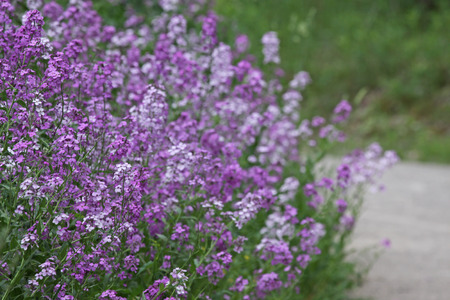 invasive species: A large patch of Summer Lilac (Hesperis matronalis). Shot in Kitchener, Ontario, Canada, where it is an invasive species. Stock Photo