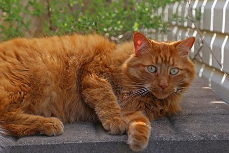 gato atigrado: Un gato atigrado de color naranja sentado afuera junto a un cobertizo. Foto de archivo