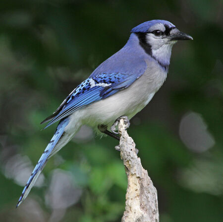 blue jay bird: A Blue Jay (Cyanocitta cristata) perched on a dead tree.  Shot in Kitchener, Ontario, Canada. Stock Photo