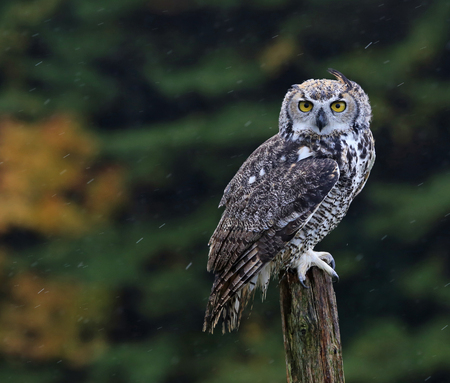 virginianus: A Great Horned Owl (Bubo virginianus) sitting on a post with rain falling in the background.