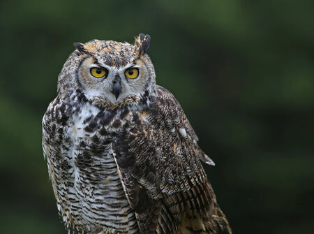 virginianus: A profile shot of a Great Horned Owl (Bubo virginianus).