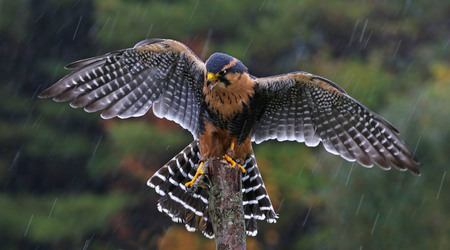 An Aplomado Falcon (Falco femoralis) with wings spread as it lands on a post in the rain. Stock fotó