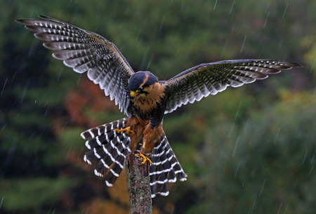 An Aplomado Falcon (Falco femoralis) with wings spread as it lands on a post in the rain. Reklamní fotografie
