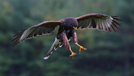 talons: A Harriss Hawk (Parabuteo unicinctus) with talons armed for a strike.