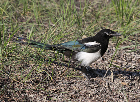 banff: A Black-billed Magpie (Pica hudsonia) sitting on the ground. Shot in Banff National Park, Alberta, Canada.
